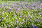 Das Blütenwunder von Husum