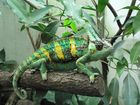 Das Chameleon!!!