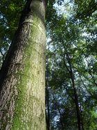 Das Dach des Waldes