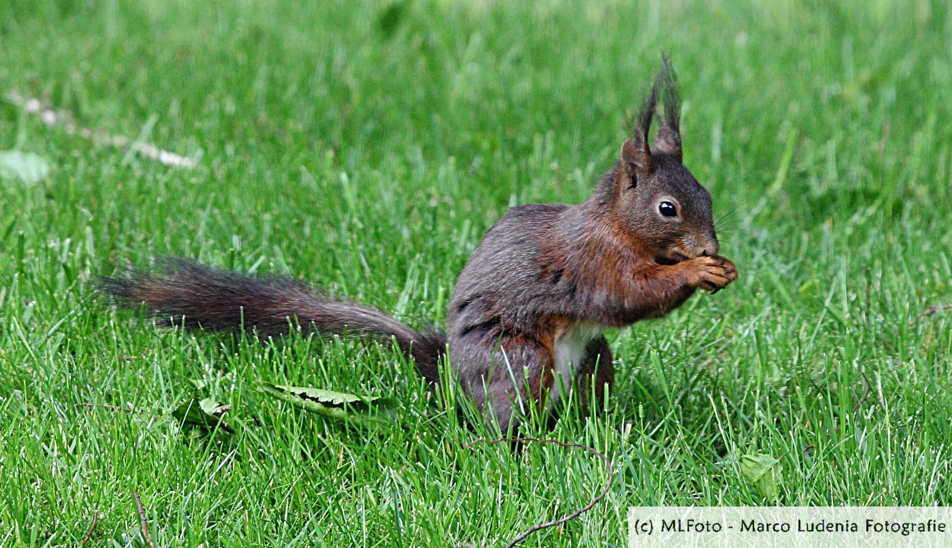 Das dunkle Hörnchen