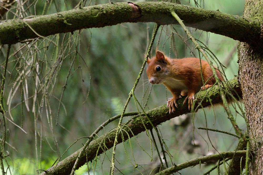 Das Eichhörnchen 2