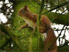 Das Eichhörnchen....