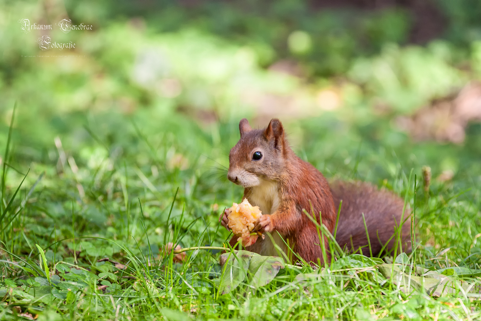 Das Eichhörnchen und der Apfelbutzen..