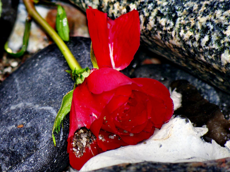 Das Ende einer Rose.