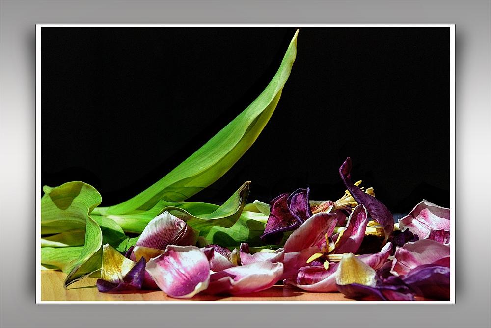 Das Ende einer Tulpe