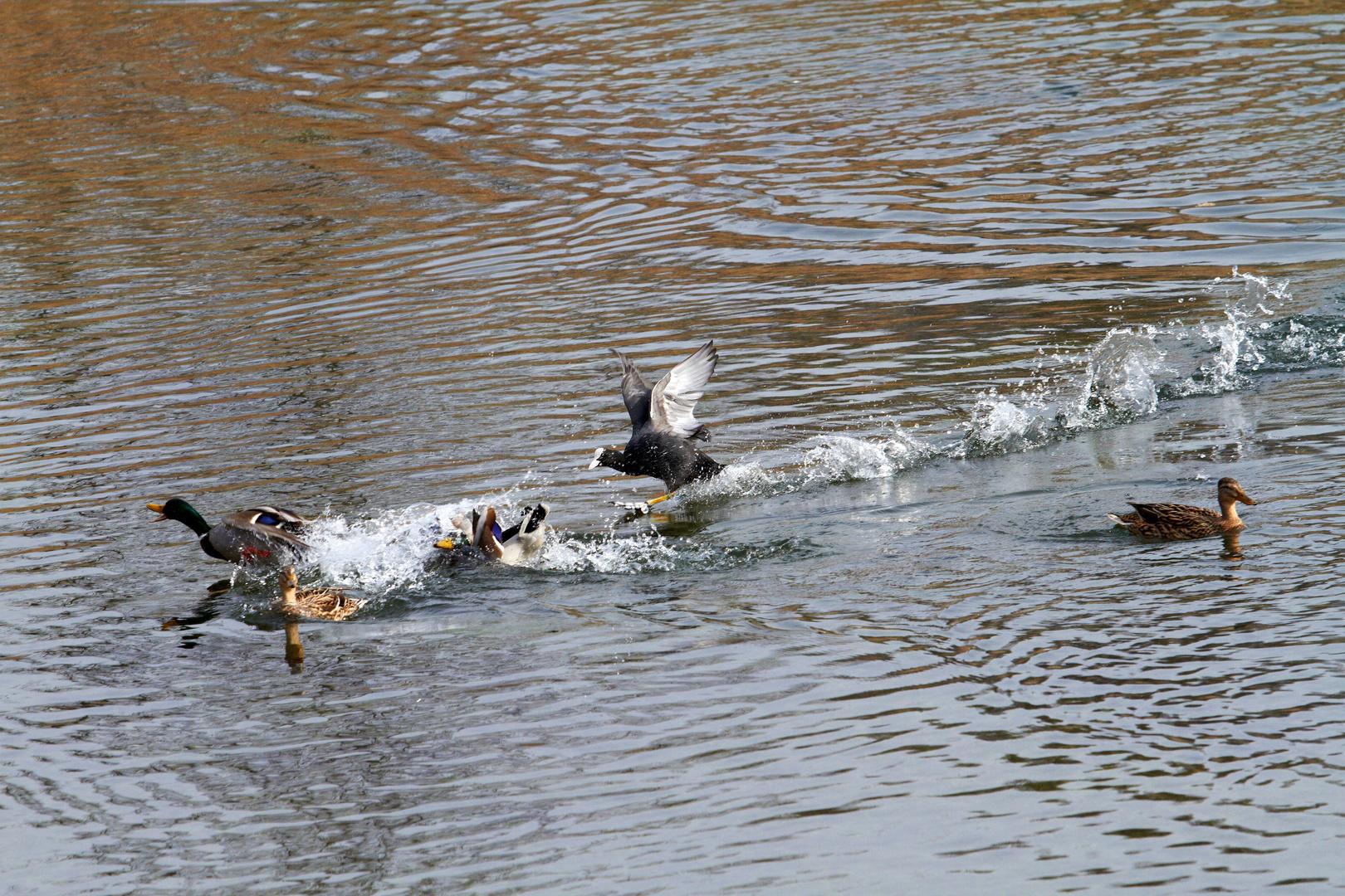 Das Enten Rennen