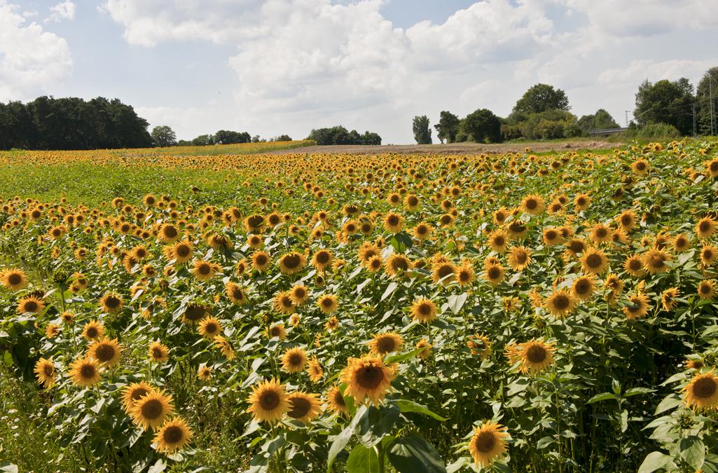 Das erste große Sonnenblumenfeld in diesem Jahr