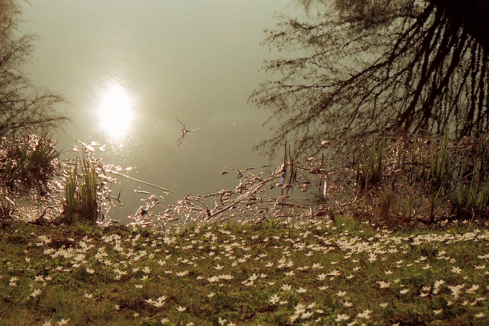 Das Erwachen der Natur zeigen die Buschwindröschen
