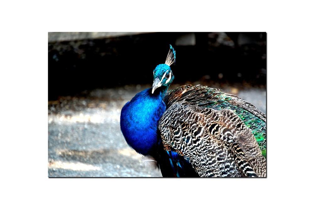 Das Farbenkleid des Vogels Stolz