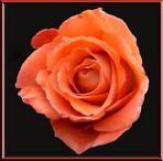 """""""Das Feuer der Rose"""""""