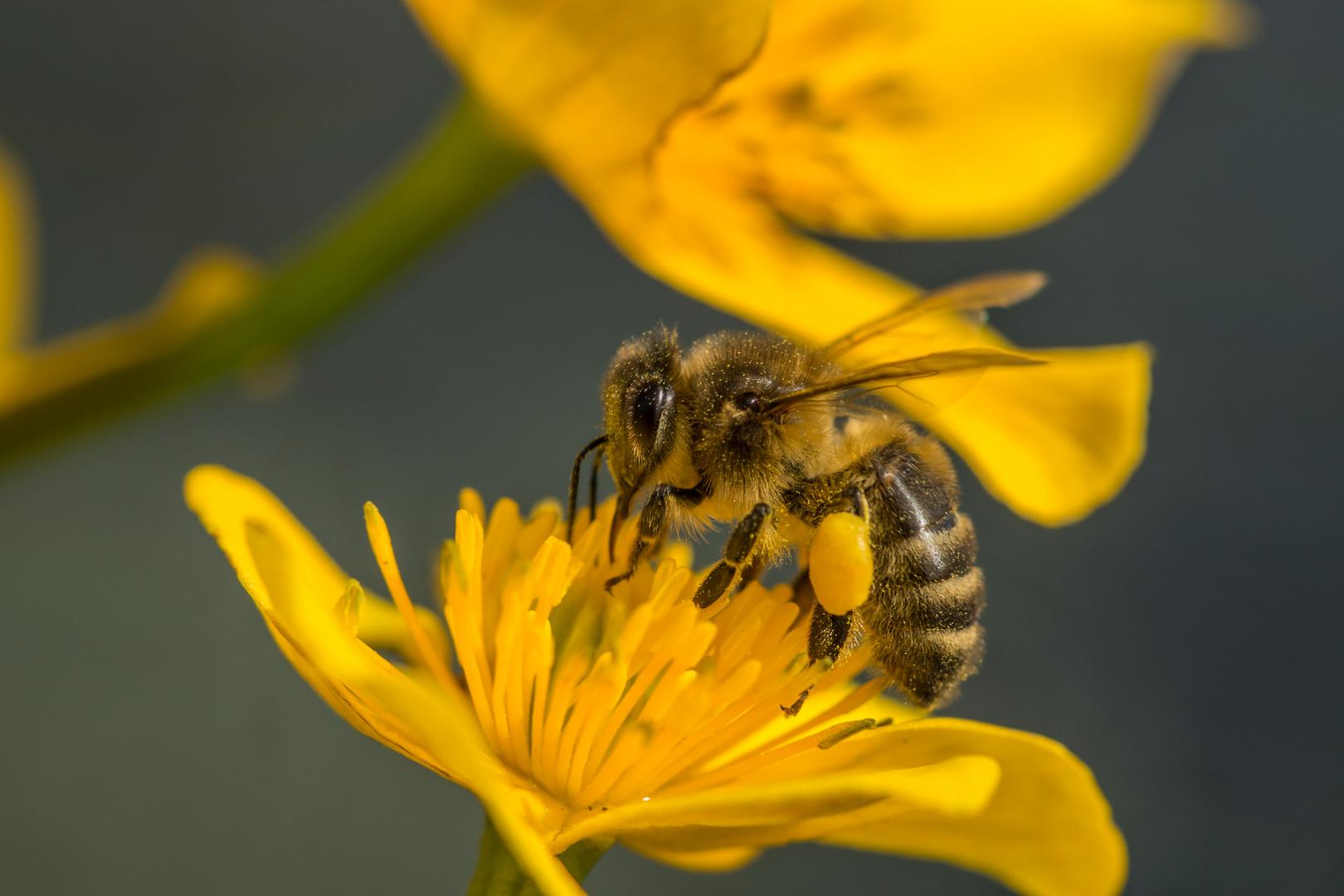 Das fleissige Bienchen