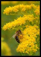 | das fleissige Bienchen |
