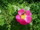 Das fleißige Bienchen