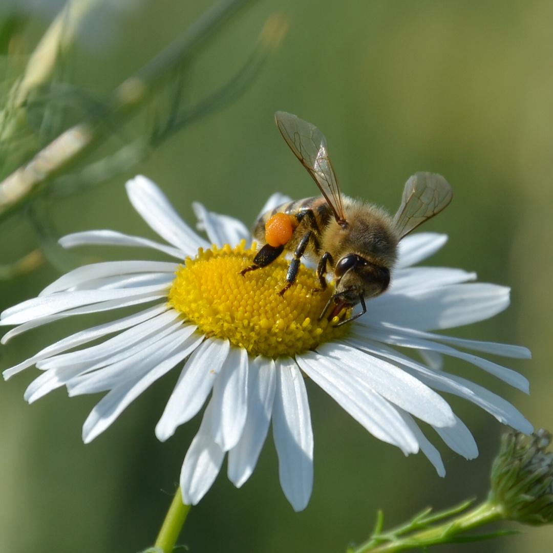 Das fleißige Bienchen...
