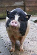Das freundliche Schwein