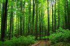 Das frische Grün der Buchenwälder