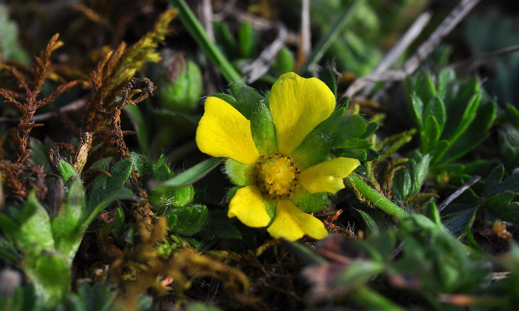 Das Frühlings-Fingerkraut (Potentilla neumanniana)