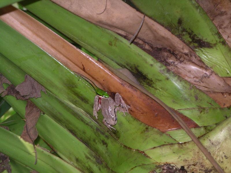 """das Gefecht mit der Slange (1) """"Costa Rica"""""""