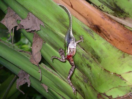 """das Gefecht mit der Slange (2) """"Costa Rica"""""""