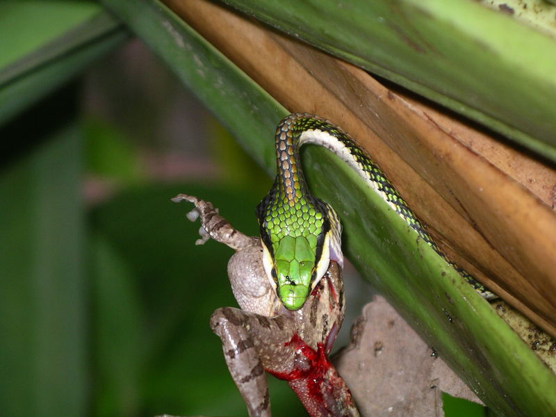 """das Gefecht mit der Slange (3) """"Costa Rica"""""""