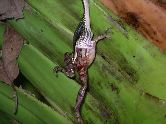 """das Gefecht mit der Slange (4) """"Costa Rica"""""""