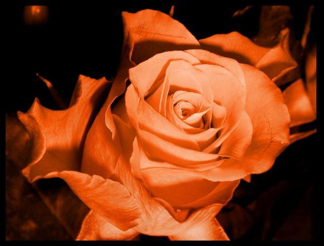 das Geheimnis einer Rose...