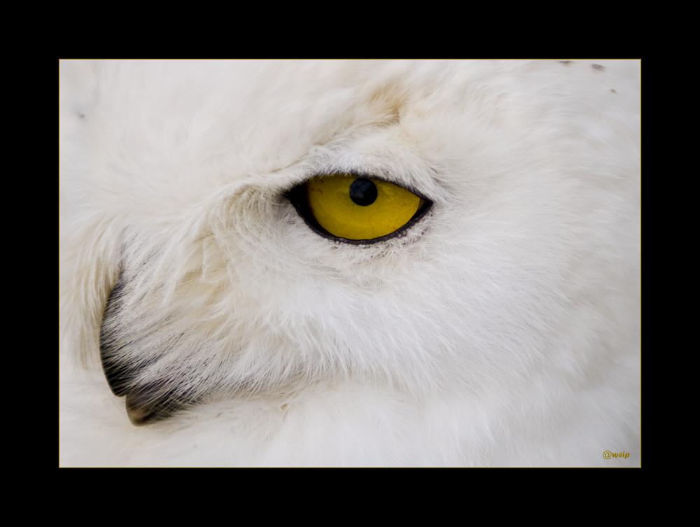 Das Gelbe vom Auge