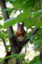 Das Geräusch kommt immer aus dem Nußbaum.