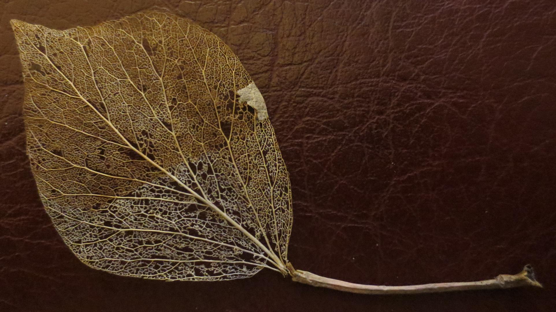 Das Gerüst eines Apfelblattes