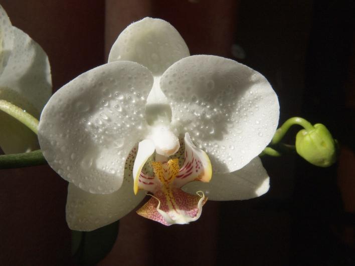 Das Gesicht der Orchide