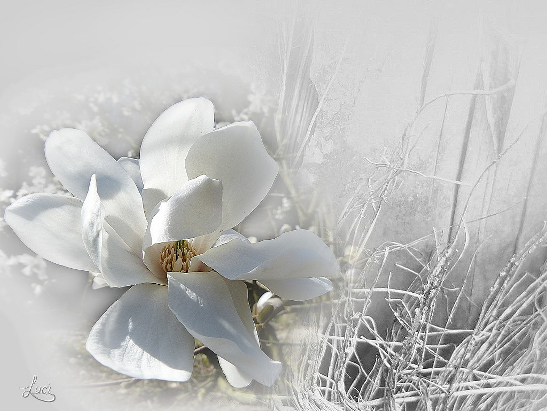 Das gewisse etwas an die Magnoliablüte