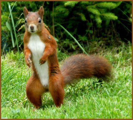 Das geyrische Eichhörnchen