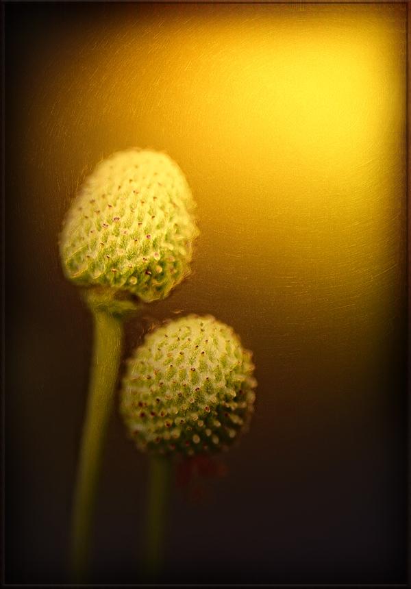 das goldene herz einer blüte ...