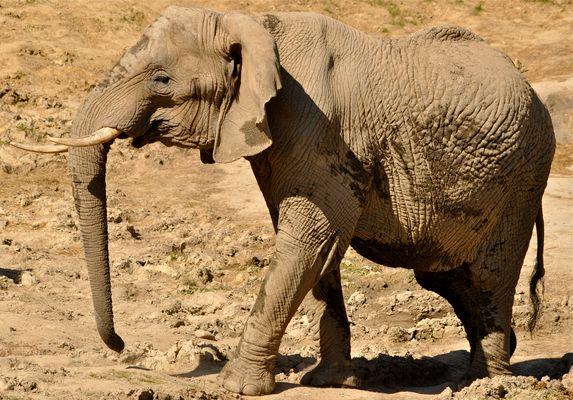 Das Größte lebende Landsäugetier..