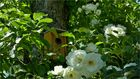 Das Haus im Rosenbaum
