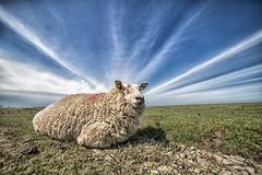 Das heilige Schaf