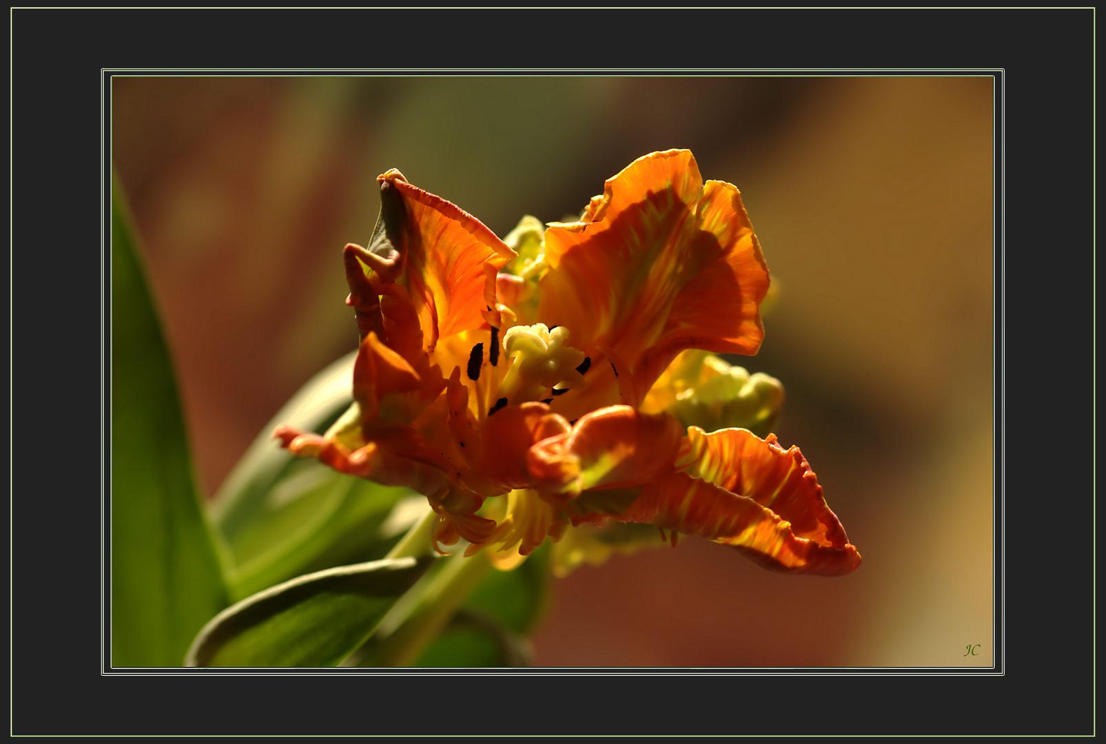 Das Herz der Tulpe # El corazón del tulipán