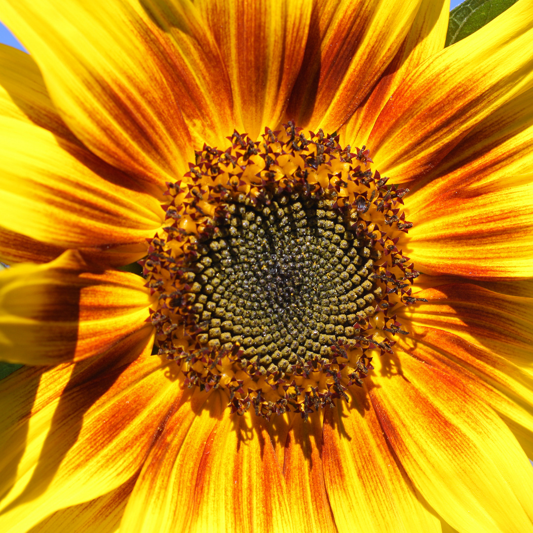 Das Herz einer Sonnenblume