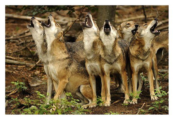 Das Heulen der Wölfe...