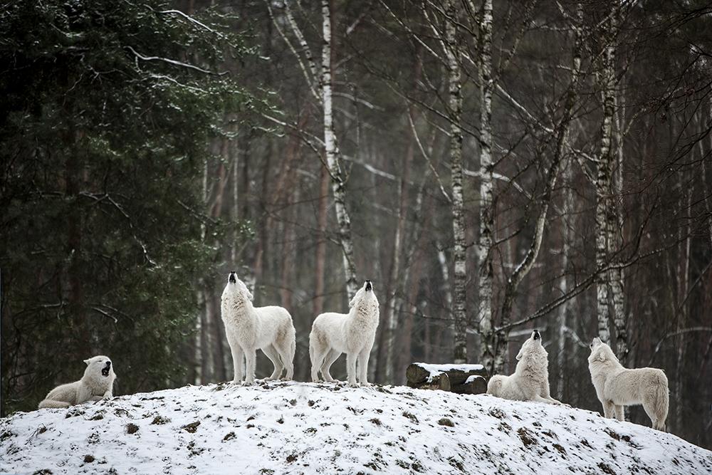 Das Heulen von Polarwölfen im Wildpark-Hanau