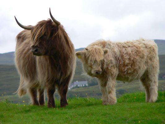 das Highland Rind