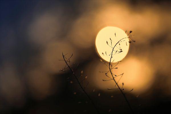 Das Hirtentäschel begrüßt die Morgensonne...