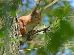 Das Hörnchen....