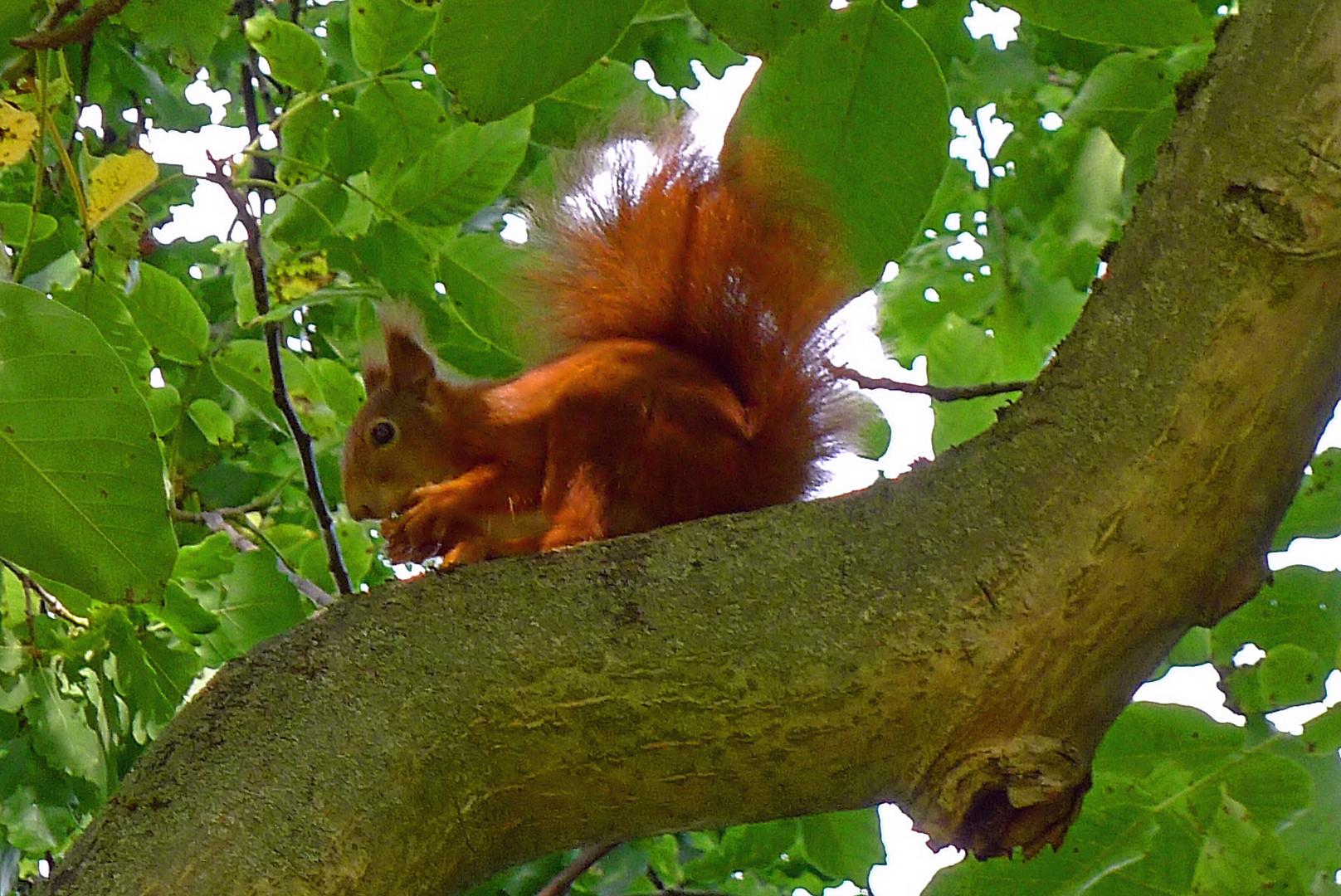 Das Hörnchen Eich