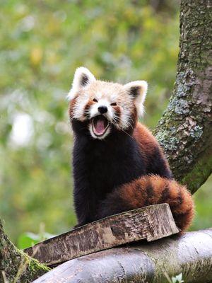 Das hohe C auf Panda Art