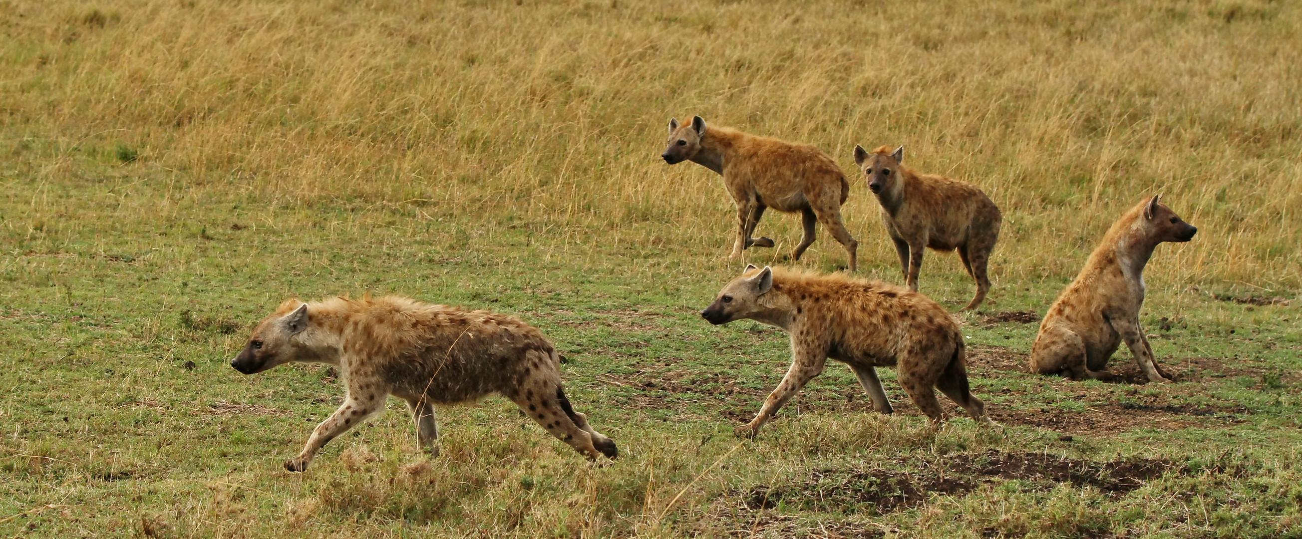 ....das Hyänenrudel....