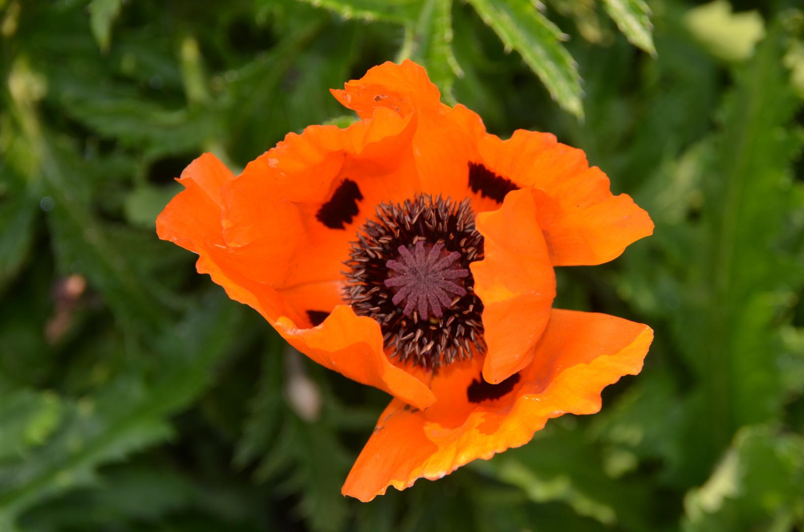 Das Innenleben einer Mohnblume