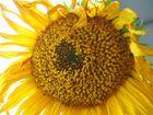 das innenleben einer sonnenblume