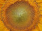 Das innere einer Sonnenblume
