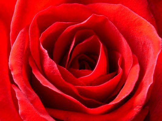 Das Innerste der Rose
